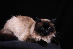 Διασταύρωση Birman της γάτας Στοκ Εικόνες