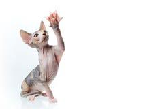 διαστημικό κείμενο sphinx γατακιών αντιγράφων Στοκ εικόνα με δικαίωμα ελεύθερης χρήσης