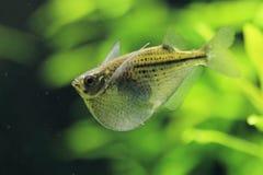 Διαστιγμένα ψάρια τσεκουριών στοκ εικόνες