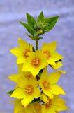 Διαστιγμένο Loosestrife - λουλούδια punctata Lysimachia σε ένα ουδέτερο κλίμα Στοκ εικόνες με δικαίωμα ελεύθερης χρήσης