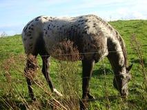 Διαστισμένο γκρίζο άλογο Στοκ φωτογραφίες με δικαίωμα ελεύθερης χρήσης