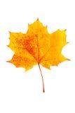 Διαστισμένο κίτρινο πεσμένο φύλλο φθινοπώρου Στοκ Εικόνες