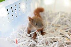 Διασωθείς σκίουρος μωρών Στοκ Εικόνες