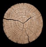 Διατομή του κορμού δέντρων Στοκ Εικόνες
