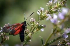 Διαφανές Burnet στο λουλούδι Στοκ φωτογραφίες με δικαίωμα ελεύθερης χρήσης