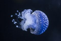 Διαφανή μπλε ψάρια ζελατίνας με τα άσπρα σημεία στοκ φωτογραφία