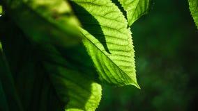 Διαφανή φύλλα κερασιών Στοκ Εικόνα