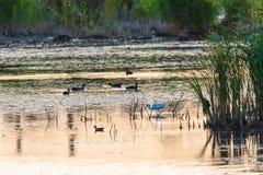 Διαφορετικά πουλιά στην ανατολή στη λίμνη δέντρα σκιαγραφιών πρωινού τοπίων σπιτιών ομίχλης Σημαντική ενδιάμεση στάση για τα πουλ στοκ φωτογραφία