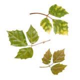 Διαφορετικά φύλλα του στιλπνού δασικού σταφυλιού Στοκ φωτογραφία με δικαίωμα ελεύθερης χρήσης