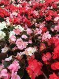 Διαφορετικά χρωματισμένα begonias στοκ εικόνες