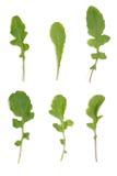 Διαφορετικές ποικιλίες του arugula σε ένα άσπρο υπόβαθρο Στοκ Εικόνες