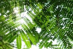 Διαφορετικές σκιές πράσινου Moringa των φύλλων Στοκ Φωτογραφία