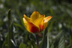 Διαφορετικοί τύποι τουλιπών Λουλούδια χρώματος Στοκ Φωτογραφίες