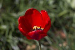 Διαφορετικοί τύποι τουλιπών Λουλούδια χρώματος Στοκ Εικόνες