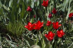 Διαφορετικοί τύποι τουλιπών Λουλούδια χρώματος Στοκ φωτογραφία με δικαίωμα ελεύθερης χρήσης