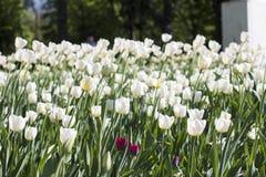 Διαφορετικοί τύποι τουλιπών Λουλούδια χρώματος Στοκ εικόνα με δικαίωμα ελεύθερης χρήσης