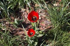 Διαφορετικοί τύποι τουλιπών Λουλούδια χρώματος Στοκ φωτογραφίες με δικαίωμα ελεύθερης χρήσης