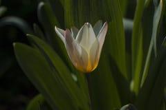 Διαφορετικοί τύποι τουλιπών Λουλούδια χρώματος Στοκ εικόνες με δικαίωμα ελεύθερης χρήσης