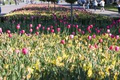 Διαφορετικοί τύποι τουλιπών Λουλούδια χρώματος Στοκ Εικόνα