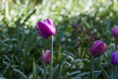 Διαφορετικοί τύποι τουλιπών Λουλούδια χρώματος Στοκ Φωτογραφία