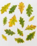 Διαφορετικός σε μέγεθος και χρώμα των δρύινων φύλλων σε ένα άσπρο υπόβαθρο Στοκ φωτογραφίες με δικαίωμα ελεύθερης χρήσης