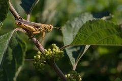 Διαφορικό Grasshopper κινηματογραφήσεων σε πρώτο πλάνο στον πράσινο μίσχο Beautyberry στοκ φωτογραφίες με δικαίωμα ελεύθερης χρήσης
