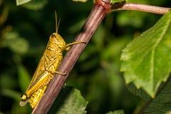 Διαφορικό Grasshopper να προμηθεύσει με ζωοτροφές στοκ εικόνα με δικαίωμα ελεύθερης χρήσης