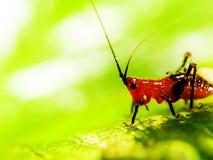 Διαφορικό Grasshopper που τρώει ένα φύλλο στοκ εικόνα με δικαίωμα ελεύθερης χρήσης