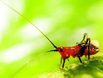 Διαφορικό Grasshopper που τρώει ένα φύλλο στοκ φωτογραφίες με δικαίωμα ελεύθερης χρήσης