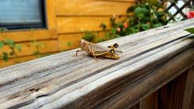 Διαφορικό Grasshopper στο παλαιό ξύλινο κιγκλίδωμα στοκ φωτογραφίες