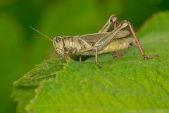 Διαφορικό Grasshopper Στοκ Εικόνες