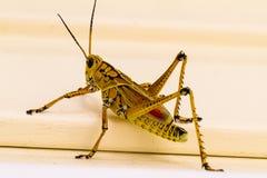 Διαφορικό Grasshopper στοκ φωτογραφία με δικαίωμα ελεύθερης χρήσης