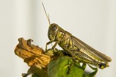 Διαφορικό Grasshopper στοκ φωτογραφία
