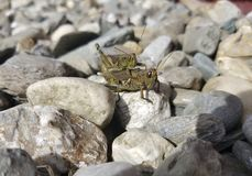 Διαφορικό Grasshoppers ζευγάρωμα στοκ εικόνα