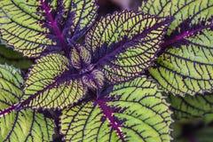 Διαφοροποιημένα Coleus φύλλα Στοκ Φωτογραφία