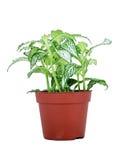 Διαφοροποιημένο πράσινο και άσπρο σε δοχείο φυτό Στοκ Εικόνες