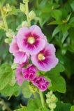Διαφοροποιημένο ροζ Hollyhock Στοκ φωτογραφία με δικαίωμα ελεύθερης χρήσης