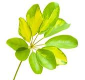 Διαφοροποιημένο φύλλο του arboricola Schefflera Στοκ Εικόνες