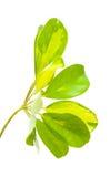 Διαφοροποιημένο φύλλο του arboricola Schefflera Στοκ Φωτογραφία