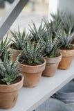 Διαφοροποιημένο Aloe Βέρα Plants στοκ εικόνα