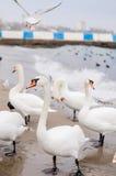 Διαχείμαση κύκνων στην παραλία Στοκ φωτογραφία με δικαίωμα ελεύθερης χρήσης