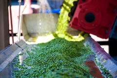 Διαδικασία εργασίας της παραγωγής των πράσινων μπιζελιών στο κονσερβοποιείο στοκ φωτογραφίες