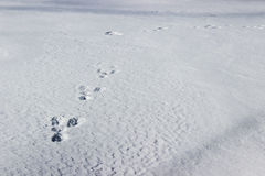 Διαδρομές λαγουδάκι στο χιόνι Στοκ Φωτογραφία