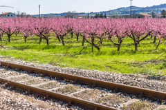 Διαδρομές σιδηροδρόμου κατά μήκος των ανθίζοντας δέντρων ροδακινιών που αντιμετωπίζονται με μυκητώδη στοκ εικόνες