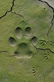 Διαδρομές σκυλιών στη ραγισμένη λάσπη Στοκ εικόνα με δικαίωμα ελεύθερης χρήσης