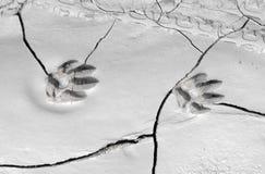Διαδρομή σκυλιών στη λάσπη Στοκ Εικόνες