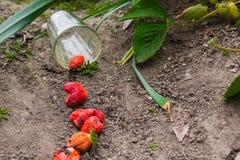 Διεσπαρμένη φράουλα από την κούπα γυαλιού στο έδαφος Στοκ εικόνες με δικαίωμα ελεύθερης χρήσης