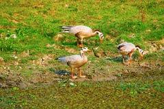 Διευθυνμένες φραγμός χήνες, indicus Anser, εθνικό πάρκο Kaziranga, Assam Στοκ φωτογραφία με δικαίωμα ελεύθερης χρήσης