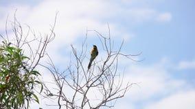 Διευθυνμένη κάστανο συνεδρίαση leschenaulti Merops πουλιών τρωγόντων μελισσών στον κλάδο δέντρων απόθεμα βίντεο