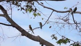Διευθυνμένη κάστανο συνεδρίαση leschenaulti Merops πουλιών τρωγόντων μελισσών στον κλάδο δέντρων φιλμ μικρού μήκους